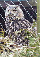 Rock Eagle Owl - Bubo bengalensis